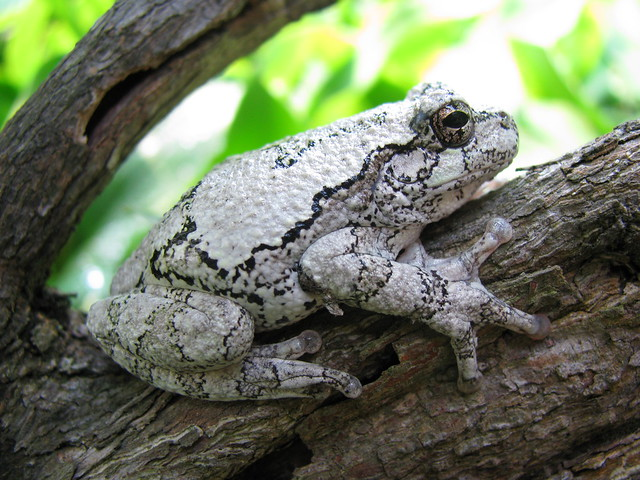 Gray tree frog - photo#19