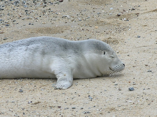 Baby harbor seal | Explore Ed Bierman's photos on Flickr ...