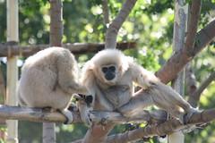 gibbon, animal, monkey, zoo, mammal, fauna, new world monkey, wildlife,