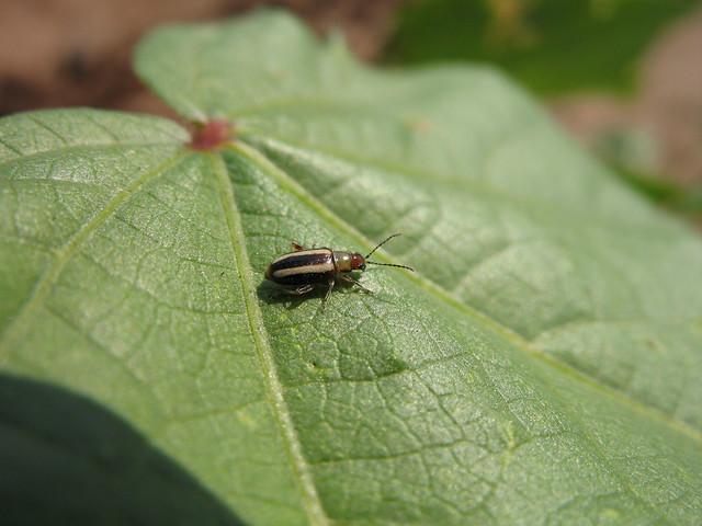 how to kill flea beetles