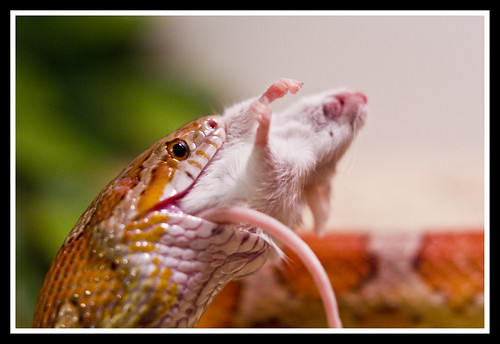Stevie Ray the Corn Snake (eating mouse) -- Pets in ... - photo#5