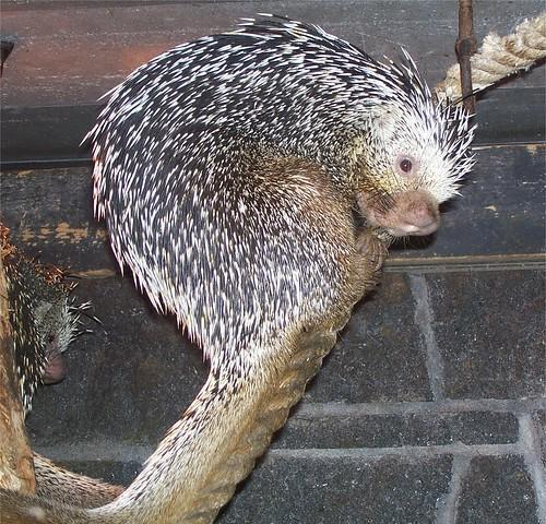 Coendou prehensilis, Prehensile-tailed Porcupine