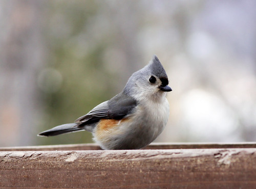 Tufted Titmouse at my feeder