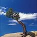 Utah Juniper - Photo (c) Amadej Trnkoczy, some rights reserved (CC BY-NC-SA)