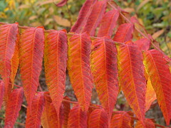 Sumacs - leaves, fruit, maybe other parts