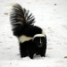 Skunks - Photo (c) Michael, some rights reserved (CC BY-NC-SA)