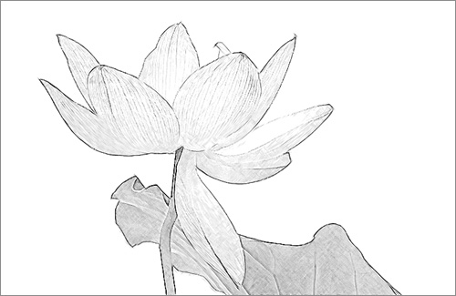 Lotus Flower Sketch Pencil Drawing Photo Based Black White