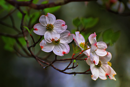 State Flower and Tree of Virginia:  Dogwood