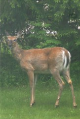 Deer in the Front Yard - Homeschool Science Lesson