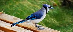 stock dove(0.0), crow-like bird(0.0), wildlife(0.0), animal(1.0), nature(1.0), fauna(1.0), blue jay(1.0), beak(1.0), bird(1.0),