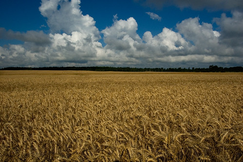 wheat field by Rob Bowman