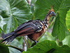 Hoatzin - Photo (c) David Cook Wildlife Photography, some rights reserved (CC BY-NC)