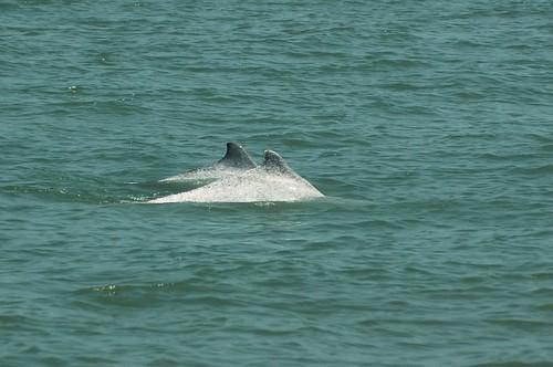 白海豚在海裡如何溝通?全靠聽覺的世界裡,人類行為又如何影響鯨豚生態?圖為中華白海豚;圖片提供:陳秉亨