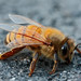 Recent research findings fail to account for the many factors that impact bee and colony health in real life (Photo: 'Goshzilla - Dann' Flickr)