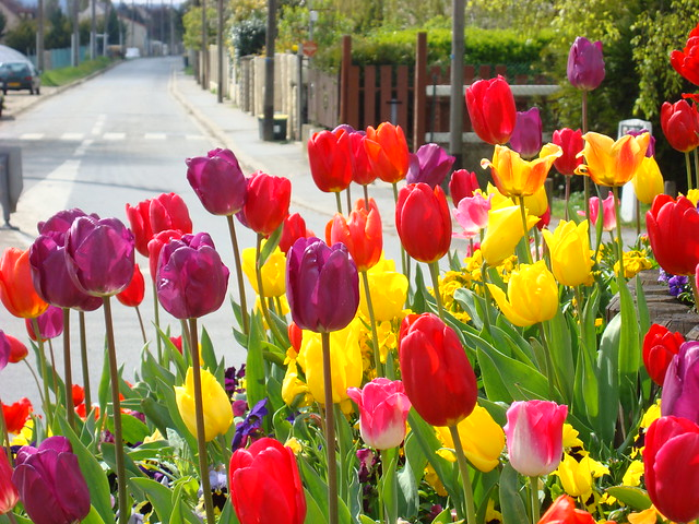 Tulipes au milieu de la route (3)