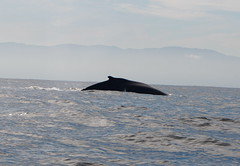 animal, marine mammal, whale, sea, ocean, marine biology,
