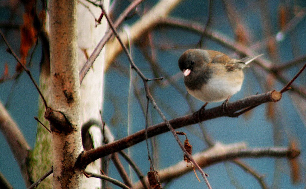 Dark-eyed Junco [Junco hyemalis]