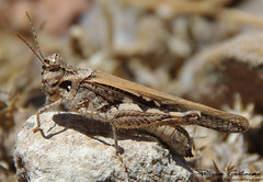 arthropod, locust, animal, cricket, invertebrate, insect, macro photography, grasshopper, fauna, close-up, wildlife,