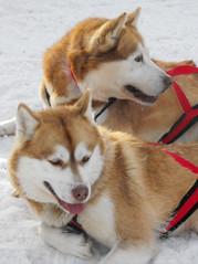dog breed, animal, akita inu, akita, dog, shiba inu, siberian husky, pet, shikoku, mammal, east siberian laika, tamaskan dog, greenland dog, northern inuit dog, wolfdog, norwegian lundehund, alaskan malamute, sled dog,