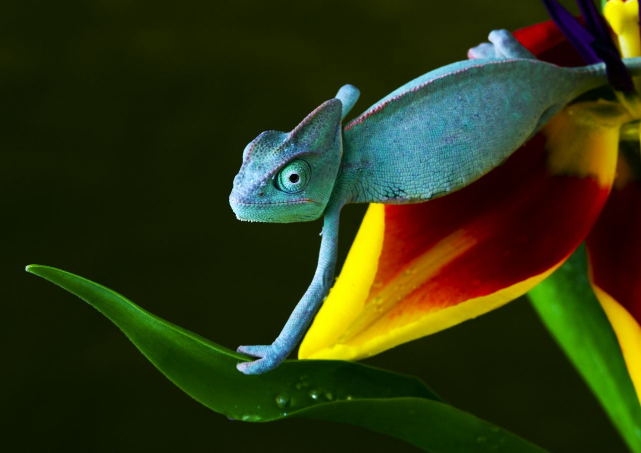 25 amazing chameleon pictures - Blue Chameleon