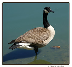 Canada Goose - Photo (c) Diane, some rights reserved (CC BY-NC-ND)
