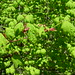 vine maple - Photo (c) J Brew, some rights reserved (CC BY-NC-SA)
