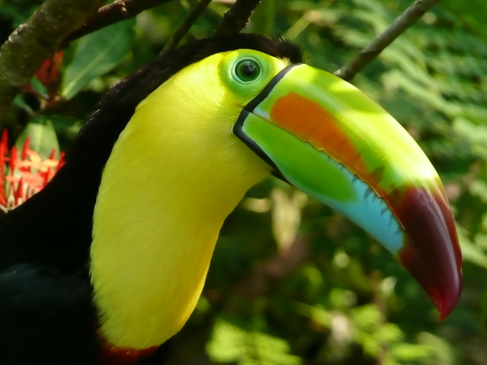 What Do Jaguars Eat >> Toucan Madison S. - ThingLink