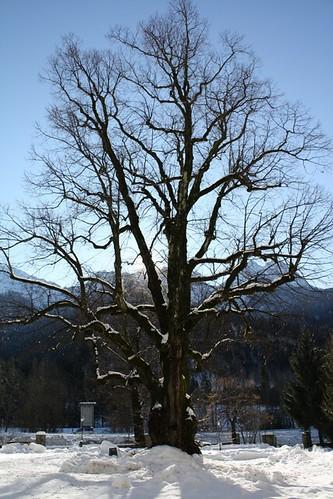 Photo for Tiglio albero
