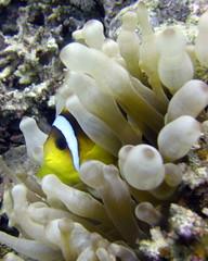 Anemone / Clown fish