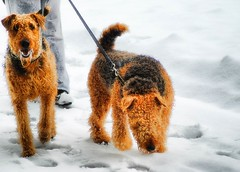 dog breed(1.0), animal(1.0), dog(1.0), winter(1.0), snow(1.0), pet(1.0), mammal(1.0), welsh terrier(1.0), terrier(1.0), airedale terrier(1.0),