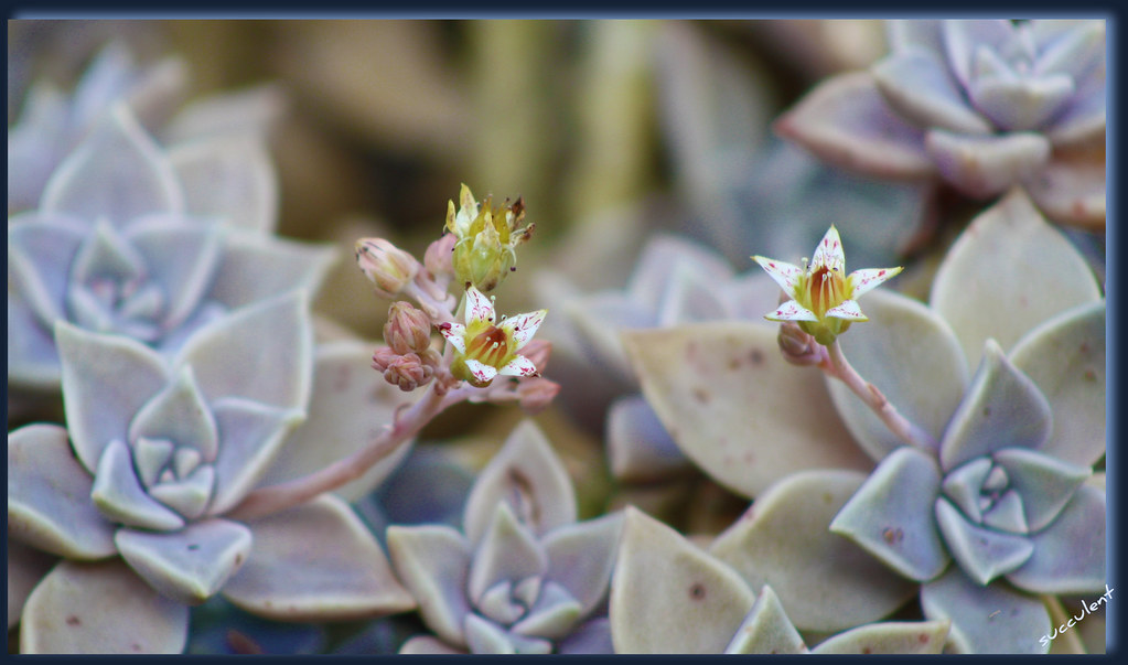 ~spring is in the air ! pretty little flowering succulent~