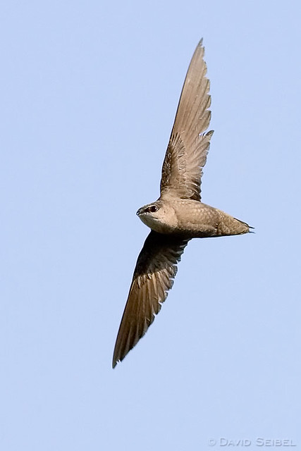 Chimney Swift in flight