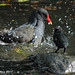 "Moorhen - ""Watch And Learn Son"""