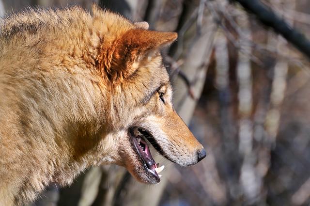 Wolf portrait 2