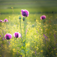 poppies in purple
