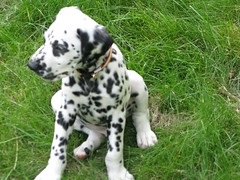 dog breed(1.0), animal(1.0), dog(1.0), pet(1.0), dalmatian(1.0), braque d'auvergne(1.0), carnivoran(1.0),