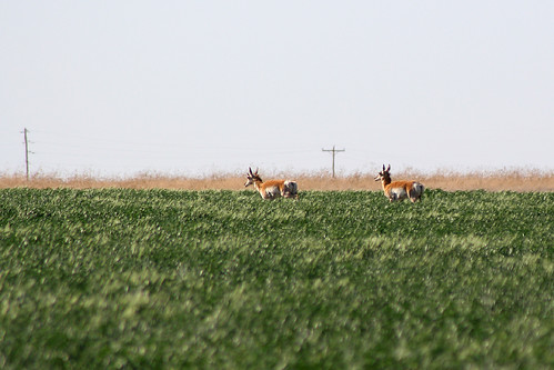 newmexico field antelope pronghorn