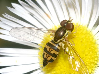 Hoverfly or Sweat Bee?  (Hoverfly)