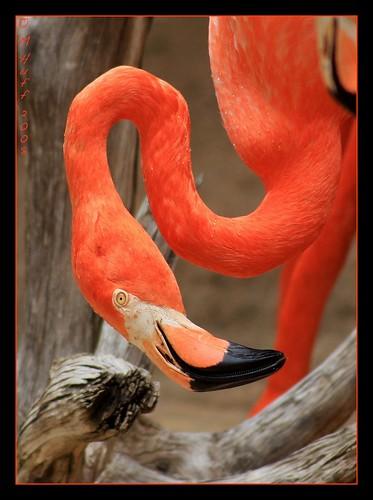 flamingo fpg mywinners abigfave platinumphoto anawesomeshot colorphotoaward impressedbeauty visiongroup infinestyle diamondclassphotographer flickrdiamond citrit theperfectphotographer goldstaraward wishitookthat jediphotographer magicunicornverybest