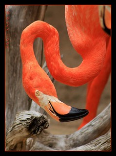 Flamingo as Eye See It