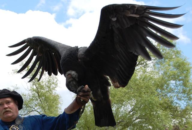 ye olde andean condor
