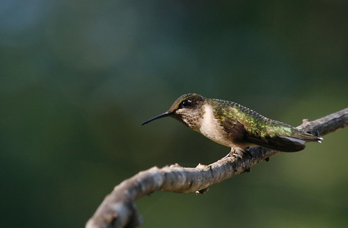 Hummingbird and Bokeh