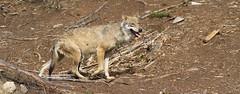 grey fox(0.0), kit fox(0.0), animal(1.0), czechoslovakian wolfdog(1.0), red wolf(1.0), mammal(1.0), jackal(1.0), fauna(1.0), wolfdog(1.0), saarloos wolfdog(1.0), coyote(1.0), wildlife(1.0),