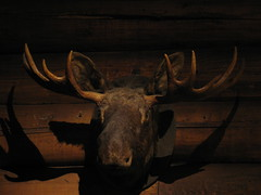 antler, deer, wood, trophy hunting, moose, horn,