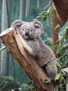 Koala named Omaroo