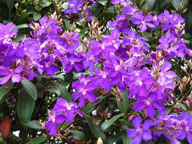 Purpleblue flowering trees a gallery on flickr quaresmeira roxa tibouchina granulosa flowers ceret park sao paulo brazilian native mightylinksfo