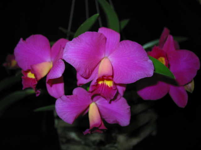 Slc Purple Jewel 'Sycamore Creek'
