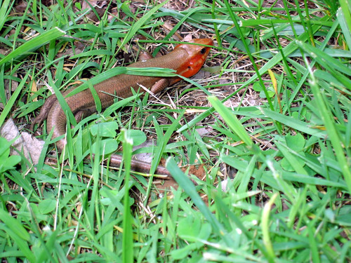 Eumeces laticeps, broadhead skink