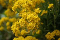 annual plant, flower, yellow, mustard plant, mustard, subshrub, herb, rapeseed,