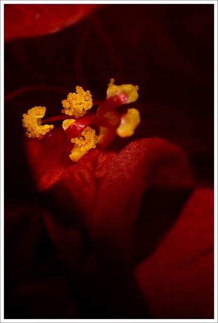 Japanska Ruza - Rose